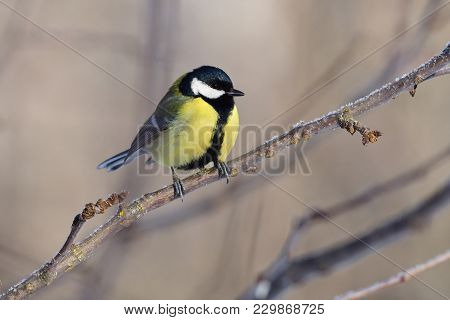 Great Tit (parus Major) Sits On A Branch Of An Apple Tree, Meeting The Dawn.
