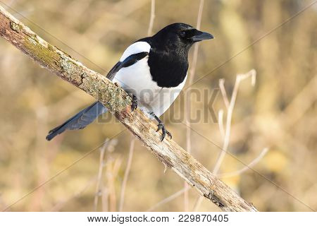 The Eurasian Magpie Or Common Magpie (pica Pica) Meets The Dawn, Sitting On A Branch In The Forest (
