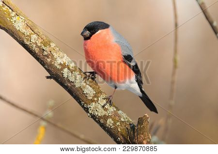 Eurasian (common) Bullfinch (pyrrhula Pyrrhula) Sits On A Branch Covered With Lichen (in The Warm Ra