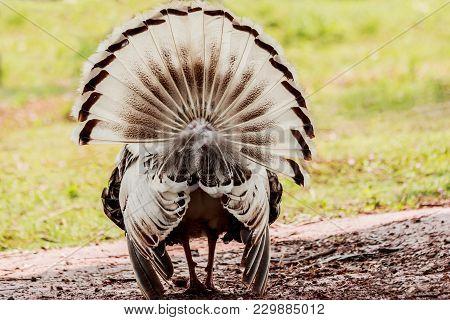 Behind The Turkey Tail In Farm T็hailand