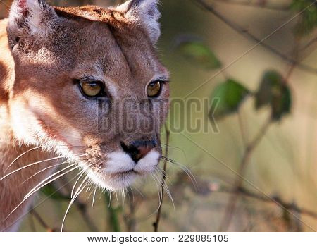 Big Cat Known By The Names Of Cougar, Mountain Lion, And Puma