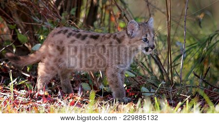 Baby Wild Cat, Known As A Cougar, Mountain Lion Or Puma