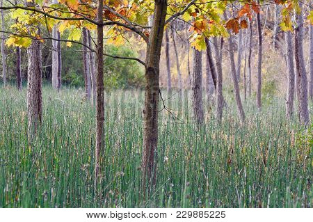 Surreal Forest Scene With Oak Trees And Green Horsetail Ferns