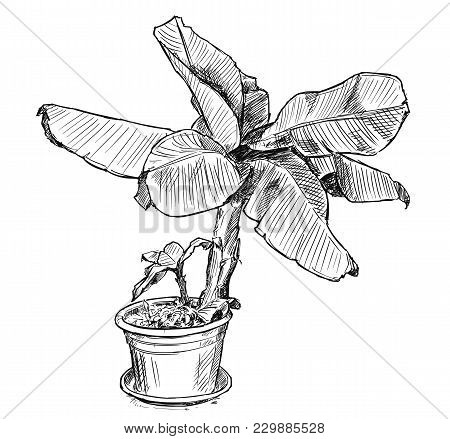 Vector Artistic Pen And Ink Hand Drawing Illustration Of Banana Tree In Large Pot.