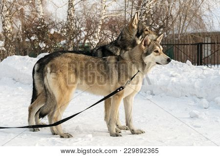 Beautiful Male And Female Of Saarloos Wolfhound In The Winter Park
