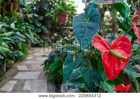 Flower Anthurium Plant On Background Of Greenhouse. Red Flamingo Floret For Bouquet, Ideal For Flowe