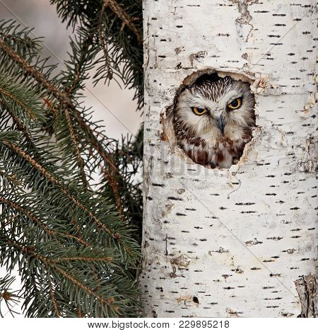 Close Up Image Of A Northern Saw-whet Owl Peaking Out Through A Birch Tree Cavity.