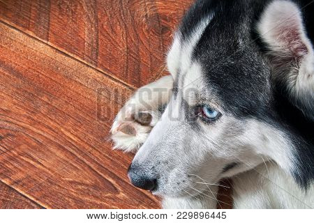 Siberian Husky Lies On Wooden Floor Curled Up, Close-up. Black And White Cute Male Dog With Blue Eye