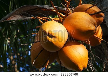 Yellow Coconut On Palm Tree In Sunlight. Golden Malayan Dwarf Palm Tree. Golden Coconut Closeup. Tro