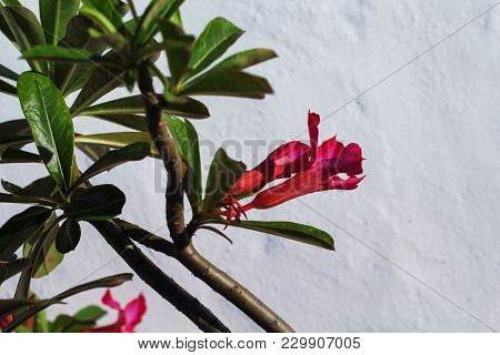 Pink Flower With Green Leaves On White Wall Background. Blooming Tropical Garden Detail. Bright Pink