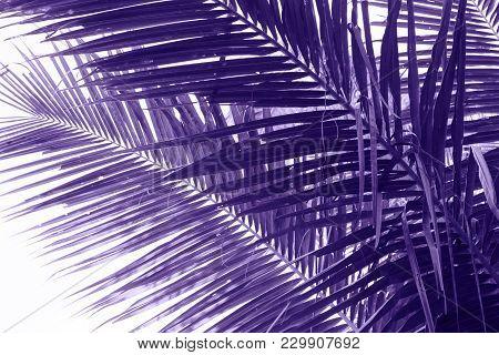 Coconut Palm Tree Leaf Violet Toned Photo. Coco Leaf Closeup. Abstract Coco Palm Leaf Background. Vi