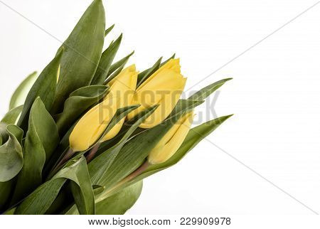 Spring Tulips Flower Isolated On White Background Close Up