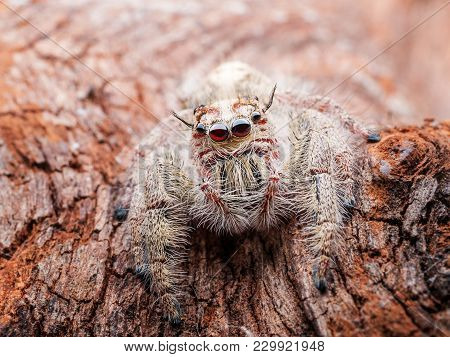 Close Up Of Jumping Spider, Spider In Thailand With Macro Scale