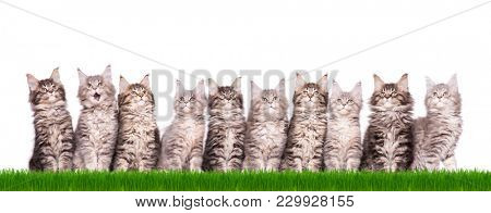 Family group of ten fluffy beautiful Maine Coon kittens in green grass. Cats isolated on white background. Portrait of beautiful domestic kitty.