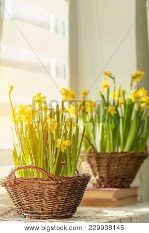Morning Sunlight On The Daffodils. Bloom Yellow Daffodils On The Windowsill In Baskets, Close Up. Sh