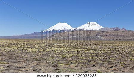 Andean Panorama: Group Of Vicuña (vicugna Vicugna) Or Vicugna In Sajama National Park, Bolivia. Rang