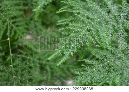 Leaves, Ferns, Slender And Pointed Leaves, Planted Garden For Beauty.