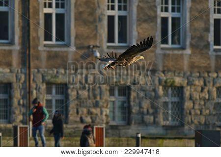 White-tailed Eagle - A Beautiful, Biggest Polish Eagle In All Its Glory