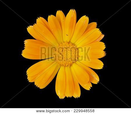 A Close Up Of The Flower Of Medicinal Herb Marigold (calendula Officinalis). Isolated On Black.