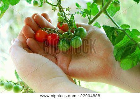 Tiny Tomatoes Are Turning Orange