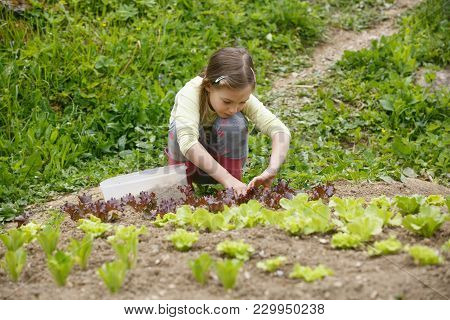 Little Girl Planting Young Salad Seedlings In Spring, Helping With Gardening. Education For Life, Ho