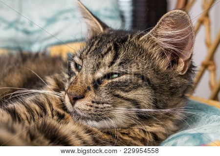 Young Brown Striped Cat With Green Eyes Is Lying And Posing To Camera. Beautiful Little Cat Looking