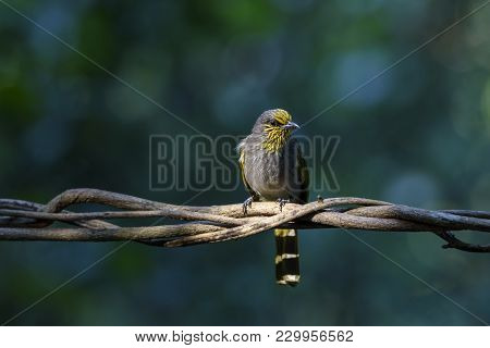 Beautiful Stripe-throated Bulbul Or Pycnonotus Finlaysoni Perching On Tree Branch With Green Backgro