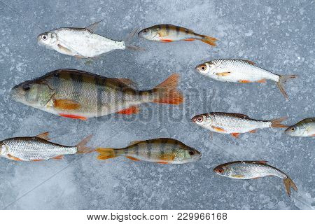 Freshwater Fish Caught In A Pond Laid Out In Rows On The Ice, One Of The Fish Lined Up In The Other