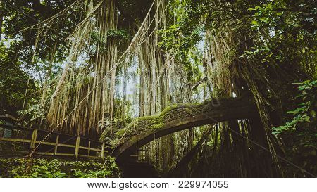 Tropical Jungle Roots Hanging Down Over The Bridge From The Huge Tree At The Sacred Monkey Forest Sa