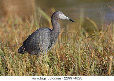 Little Blue Heron (egreta Caerulea) At The Edge Of A Marsh - Port Charlotte. Florida