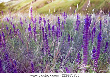 Salvia On A Summer Meadow Sage Background