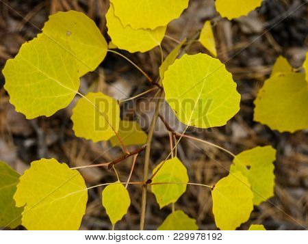 Forest Eurasian Aspen Bush Branch With Autumn Yellow Leaves. Composition Of Branches With Yellow Gre