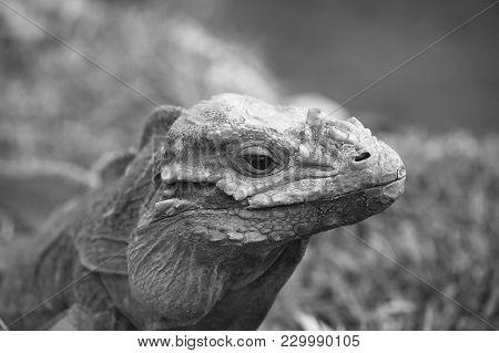 Iguana In A Molting Season, Closeup In B&w