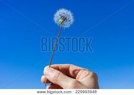 Woman Hand Holding Dandelion Floret Against A Bright Blue Sky