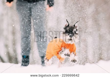 Miniature Schnauzer Dog Or Zwergschnauzer Sitting In Outfit Playing Fast Running In Snow At Winter D