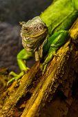 Close-up of green iguana (Iguana iguana) in terrarium. poster