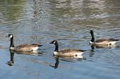 Picture of three Canada Geese swimming on a pond. poster