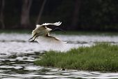 A black headed ibis flying with a lake and forest in the background poster