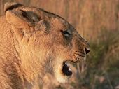 close up of lion's head (side profile) poster