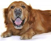 Golden retriever dog very funny face close up. poster