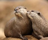 A pair of Oriental Short-Clawed Otters cuddling poster