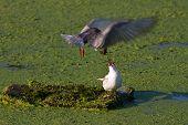 Common Terns (Sterna hirundo hirundo) courtship feeding poster