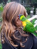 Brunette child with colorful lorikeet bird biting her ear poster