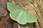 Large Emerald Moth - Geometra papilionaria on log poster