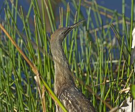 An American Bittern Hiding In The Wetlands Of Florida.