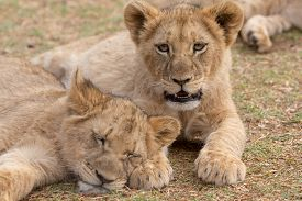 Very Young Lion Cubs In  South Africa
