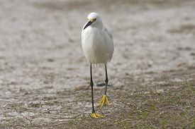 Snowy Egret Walking On The Shore Of A Lake In Florida, Usa.