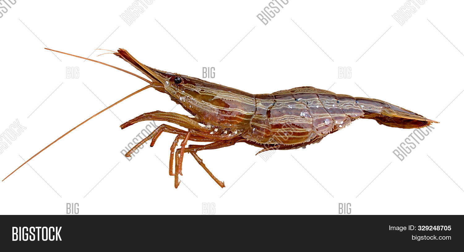 Alive Shrimp Isolated Image Photo Free Trial Bigstock