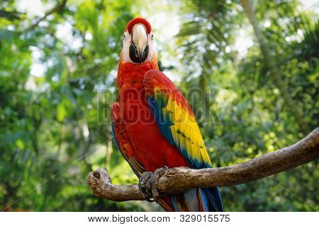 Happy Red Macaw Or Scarlet Macaw Ara Macao With Green Sunny Jungle Background In Macaw Mountain Bird