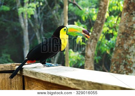 Keel-billed Toucan, Ramphastos Sulfuratus, With A Colorful Beack With A Berry In Macaw Mountain Bird